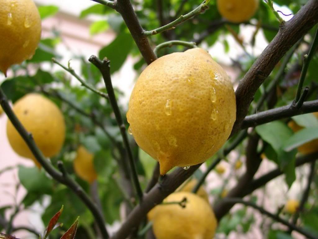 http://3.bp.blogspot.com/_f63lTE1F3ig/TEYfHHhurYI/AAAAAAAAASQ/nQvnfl3ePKY/s1600/lemon_tree_nature_pao.jpg