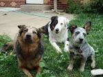 Dingo, Alfie, Violet