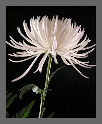 Kirstens wedding wedding flowers spider mums a member of the chrysanthemum family has long thin petals hence the common name placing these in your bud vases will add some visual weight to mightylinksfo