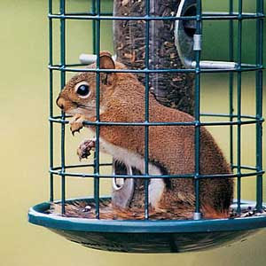 pictures of squirrels in arkansas
