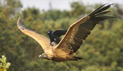 Crafty crow hitches a ride on the back of a vulture