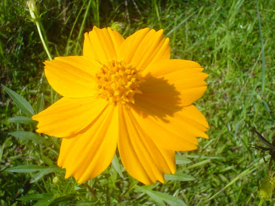 Native myanmar flowers lovers flower name yellow cosmos scientific name cosmos sulfureus myanmar name shwe dinngar photographer hana san location sarawak malaysia mightylinksfo Image collections