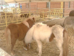 Pony d'Esperia