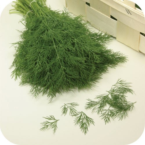 how to grow dill weed