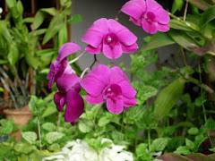 phaldendrobium orchid