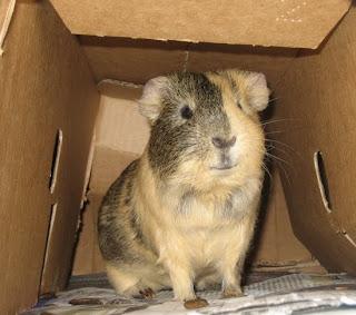 unser meerschweinchen kobold wo die kleinen pf tzeln hingeh ren. Black Bedroom Furniture Sets. Home Design Ideas