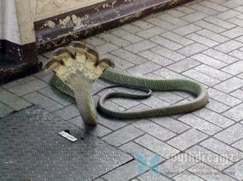 gambar ular cobra terbesar di dunia