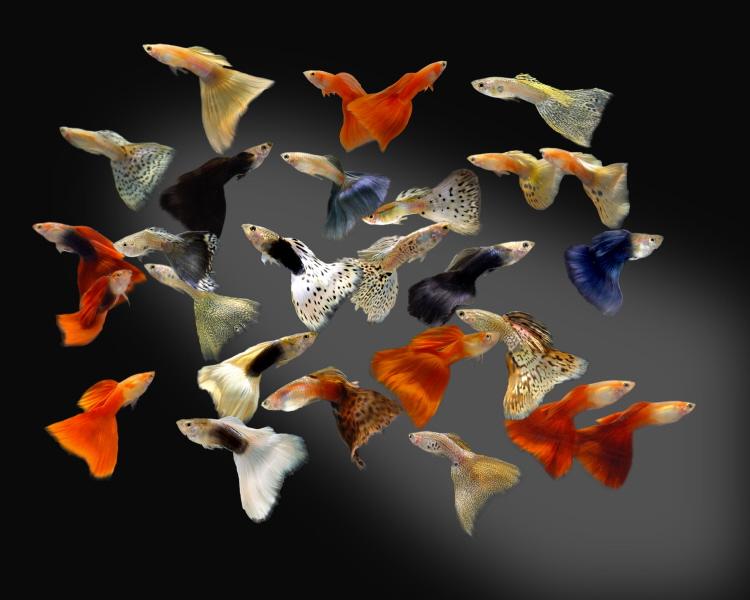 صور سمك جوبي Guppy fish ، سمكه جوبي من الاسماك الولاده