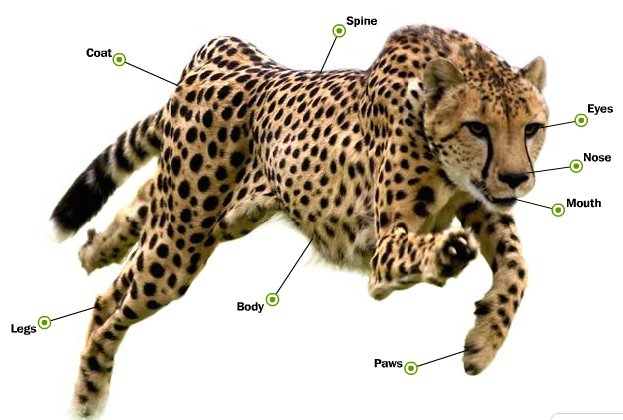 external image Cheetah.jpeg