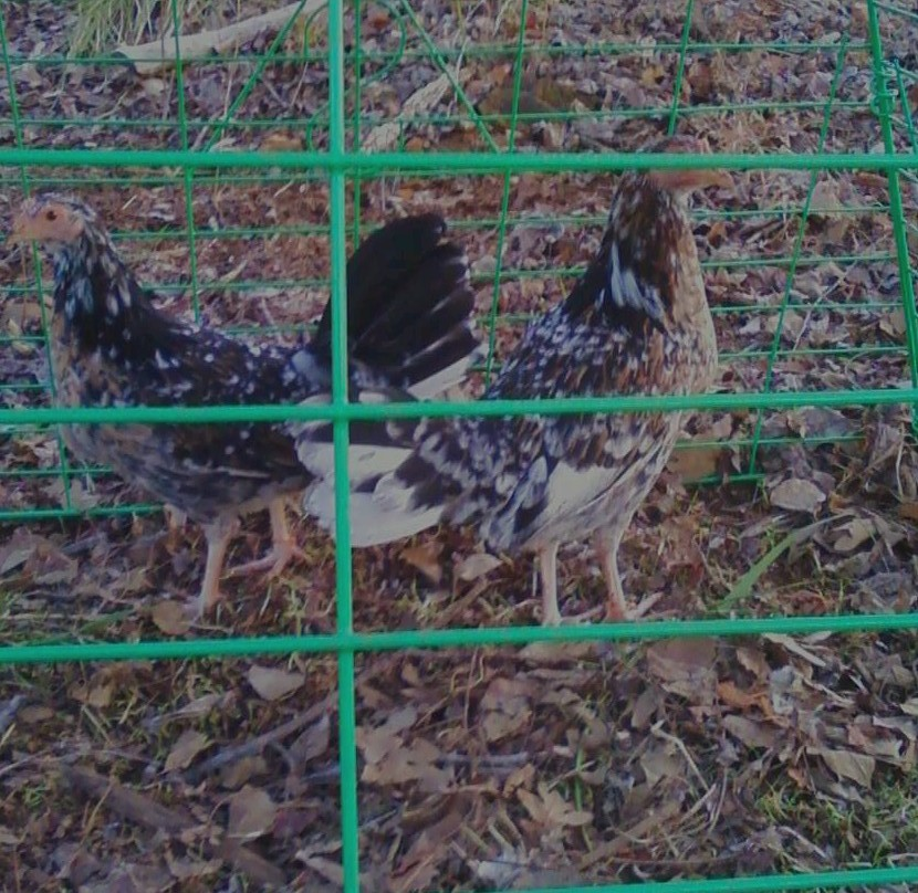 mississippi gamefowl