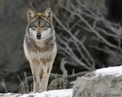 Wolf howl center for biological ersity goes to court for mexican
