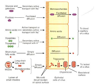 EAMCET Zoology: Absorption in Ileum