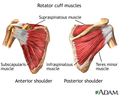 Muscles Of The Shoulder Girdle