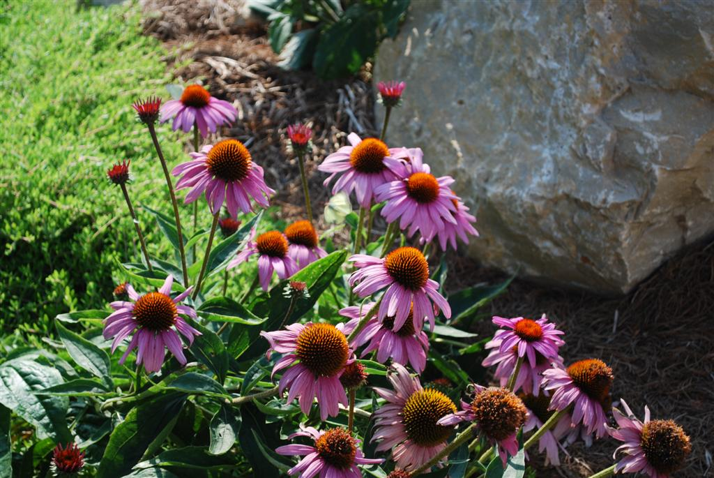 how to keep coneflowers blooming