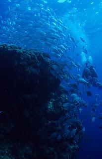Diver with Bigeye Trevally (Caranx sexfasciatus)