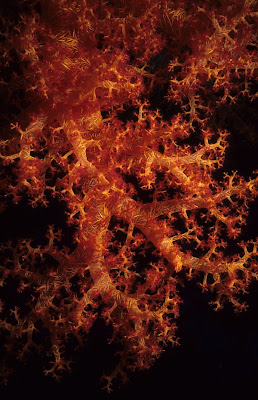 Yellow and Red Dendronephthya