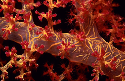 Macro image of Dendronephthya sp. by B N Sullivan