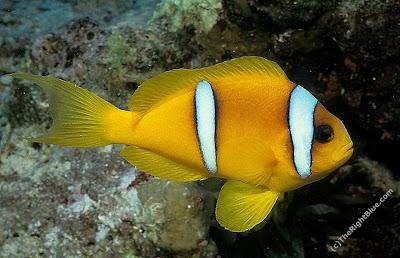 Two-bar Anemonefish (Amphiprion bicinctus)