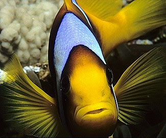 Two-bar Anemonefish (Amphiprion bicinctus)