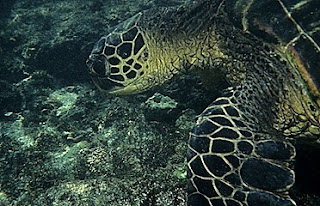 Green sea turtle eating seaweed