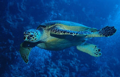 Hawksbill turtle (Eretmochelys imbricata), Red Sea