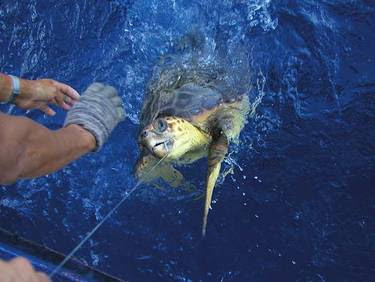 Incidental catch: Loggerhead sea turtle (Caretta caretta)