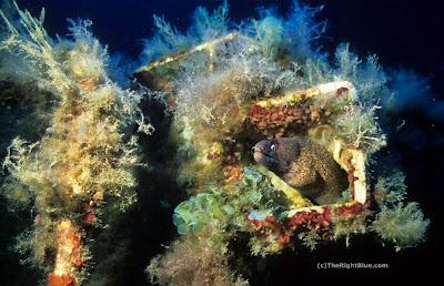Mediterranean Moray (Muraena helena)