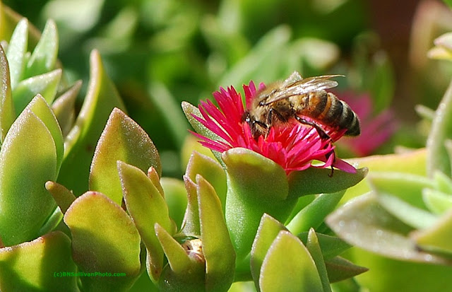 Honey bee (Apis mellifera) on Rock Rose Ice Plant (Aptenia cordifolia)