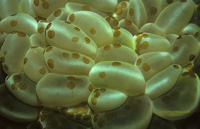 Plerogyra Sp. with Waminoa flatworms