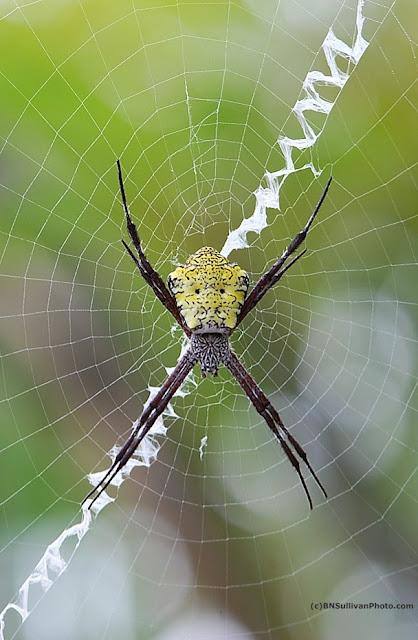 Garden Spider (Argiope appensa)