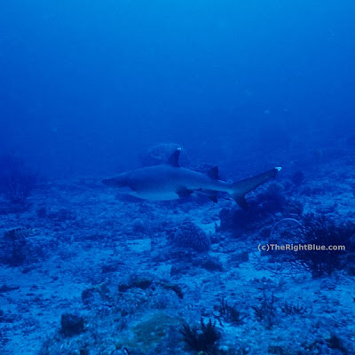 Pregnant Whitetip Reef Shark (Triaenodon obesus)