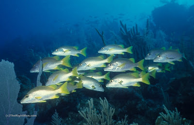 Schoolmaster Snappers (Lutjanus apodus)