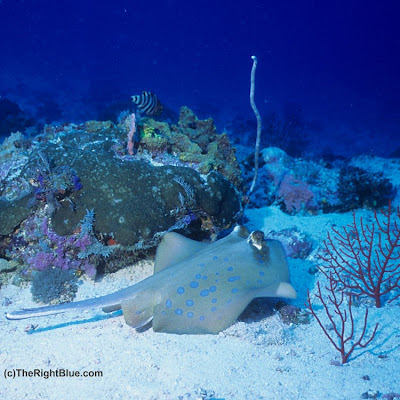 Blue Spotted Stingray (Taeniura lymma)