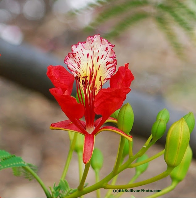 Royal Poinciana Blossom