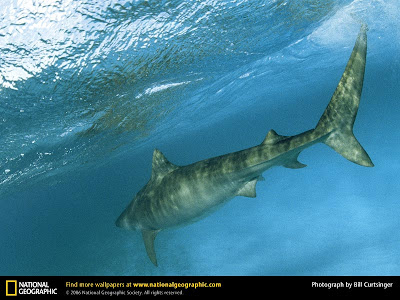 Tiger Shark - National Geographic
