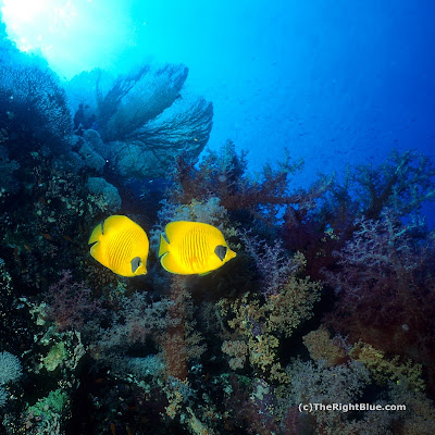 Masked Butterflyfish (Chaetodon semilarvatus)