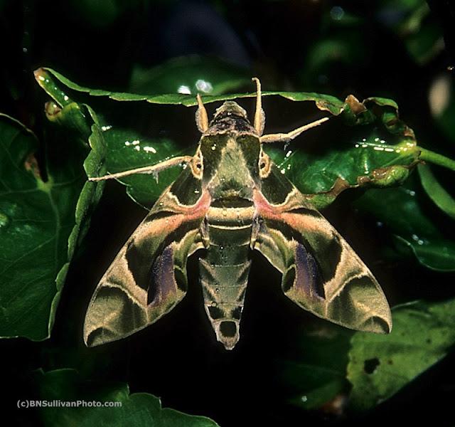 Oleander Hawk Moth (Daphnis nerii)