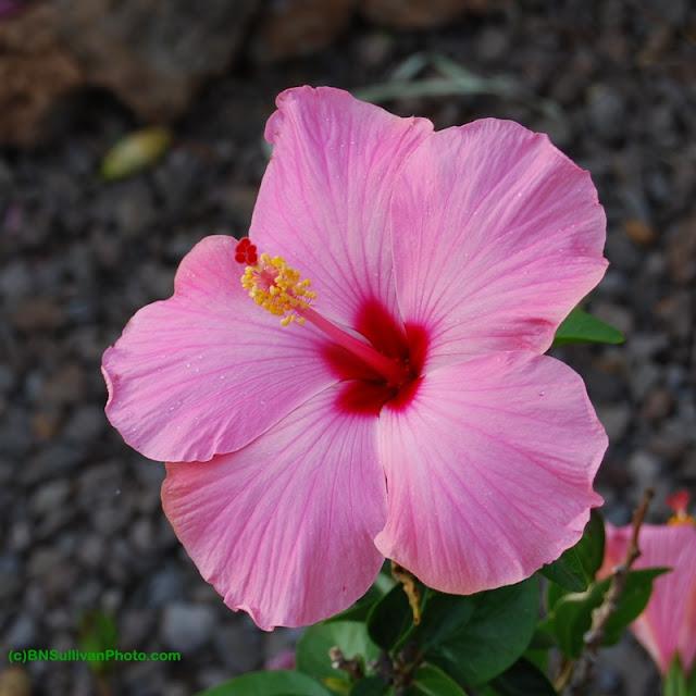 Maui Wind hibiscus