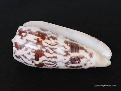 Conus striatus