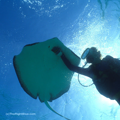 A diver pets the underside of a Southern Stingray (Dasyatis americana)