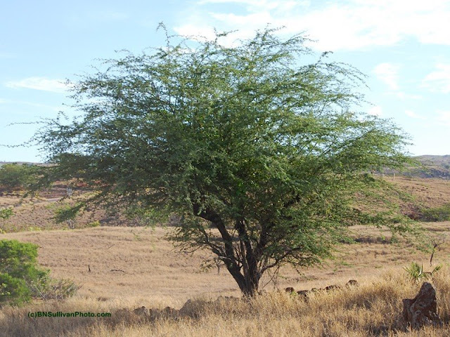 Kiawe (Prosopis pallida)
