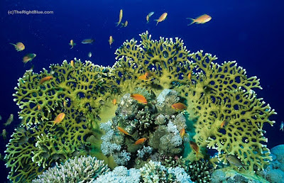 Fire coral (Millepora dichotoma), Red Sea