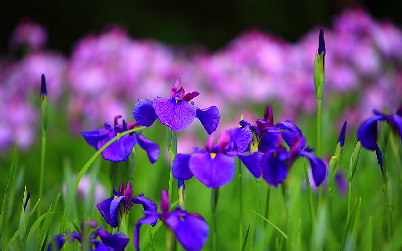 Iris flower wallpapers quotes wallpapers iris flower wallpapers izmirmasajfo Choice Image