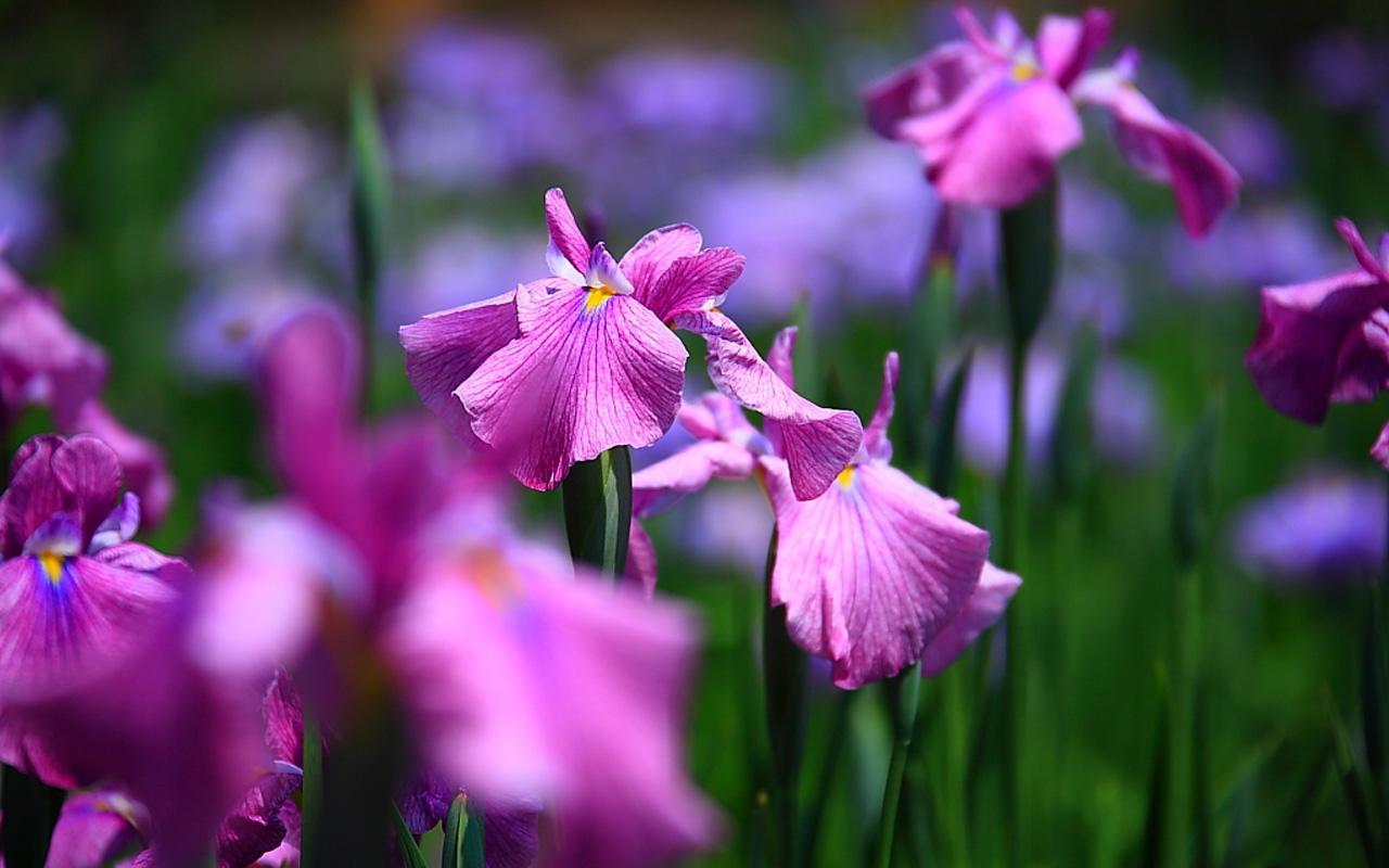 Free HD Wallpaper Iris Flower Wallpapers