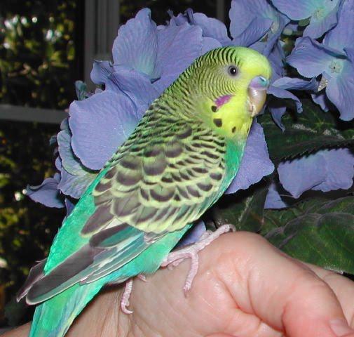 Foto Burung Parkit