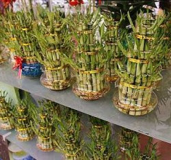 Green gifts: These bamboo shoots are among the items found at NZX Commercial Centre.