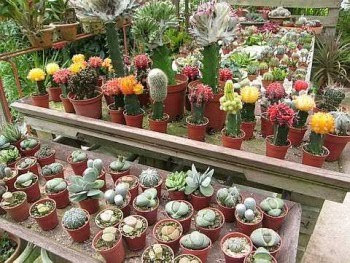 Colourful: Some of the cactuses available for sale at the plantation.