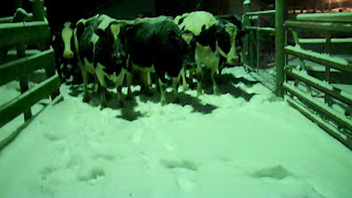 snow covered cows