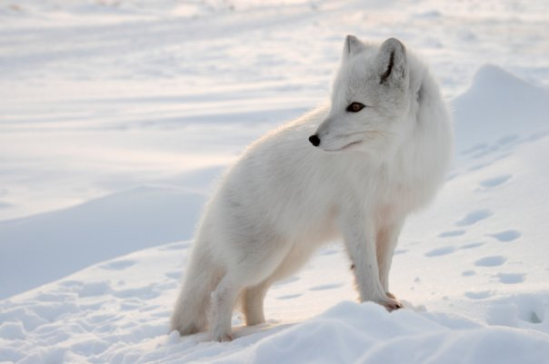edge of the plank cute animals arctic foxes