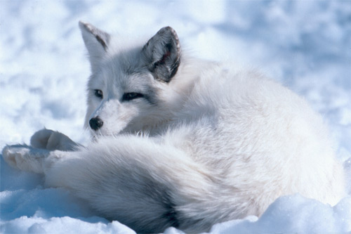 Arctic Foxes live in the